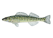 Northern Logperch