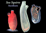 Sea Squirts 2