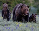 GRIZZLY BEAR# 399 & TRIPLETS