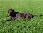 Chocolate Labrador Sun Bather