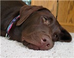 Chocolate Labrador Thoughts