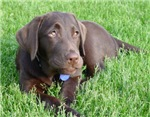 Chocolate Labrador Wisdom