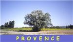 Provence Olive Tree