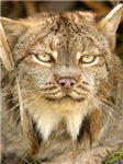 Canadian Lynx Stuff