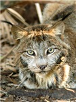 Canadian Lynx Caps & Intimate Apparel