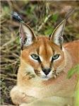 Caracal Lynx Stuff