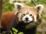 Red Chinese Panda Products