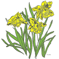 Daffodils/I Love Spring