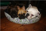 3 Frenchies