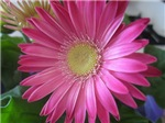 Pink Daisy Princess