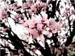 Cherry Blossoms, 1