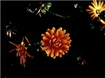 Orange Flowers, Dark