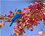 Bluebird in Blossoms