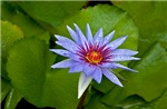 Rain Drenched Blue Lotus