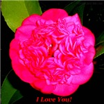 I Love You Night Camellia