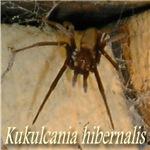 Kukulcania hibernalis