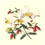 Botanical Print 1850 Phalaenopsis grandifloria