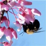 Bee dangling from Judas-tree flowers