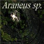 Orb Weaver - Araneus sp.