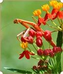 Mantis & Tropical Milkweed No1