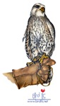 Gyrfalcon on Glove