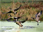 geese taking off