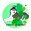 Irish Black Siberian Husky