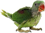 Baby Parakeet Photo Gifts