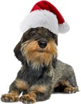 Wirehaired Dachshund Christmas