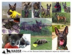 Collage of Dogs Helped by NADSR in 2012 Items