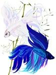 Blue 'n' White Siamese Fighting Fish