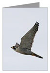 <h3><b>Falcon 10 pack Greeting Cards</b></h3>