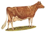 Ideal Guernsey Cow
