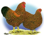 GL Wyandotte Rooster and Hen