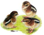Brown Leghorn Chicks