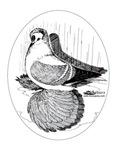 Fairy Swallow Pigeon
