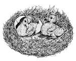 Pigeon Nest Babies