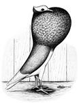 Thuringer Pouter Pigeon