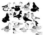 Saxon Color Pigeons