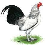 Columbian OE Cock