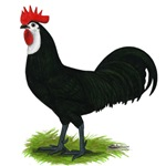 Whitefaced Spanish Cock