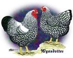 Silver Wyandotte Chickens