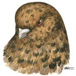 Modena Pigeon