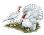 Beltsville White Turkey