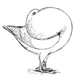 Holle Cropper Pigeon