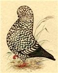 Tumbler Pigeon:  Black Splash