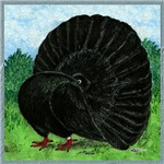 Fantail Black Pigeon