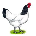 Lackenvelder Hen