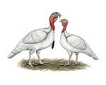 Turkeys:  Midget White