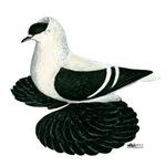 Swallow Saxon Fullhead Pigeon